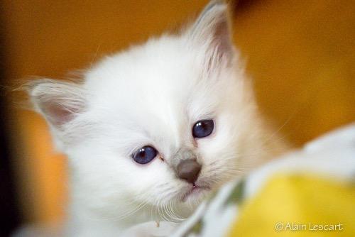 Du Laddak Doré Birman Cats
